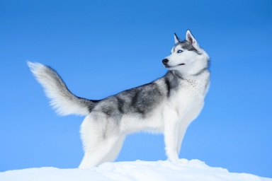 Siberian husky on blue sky background