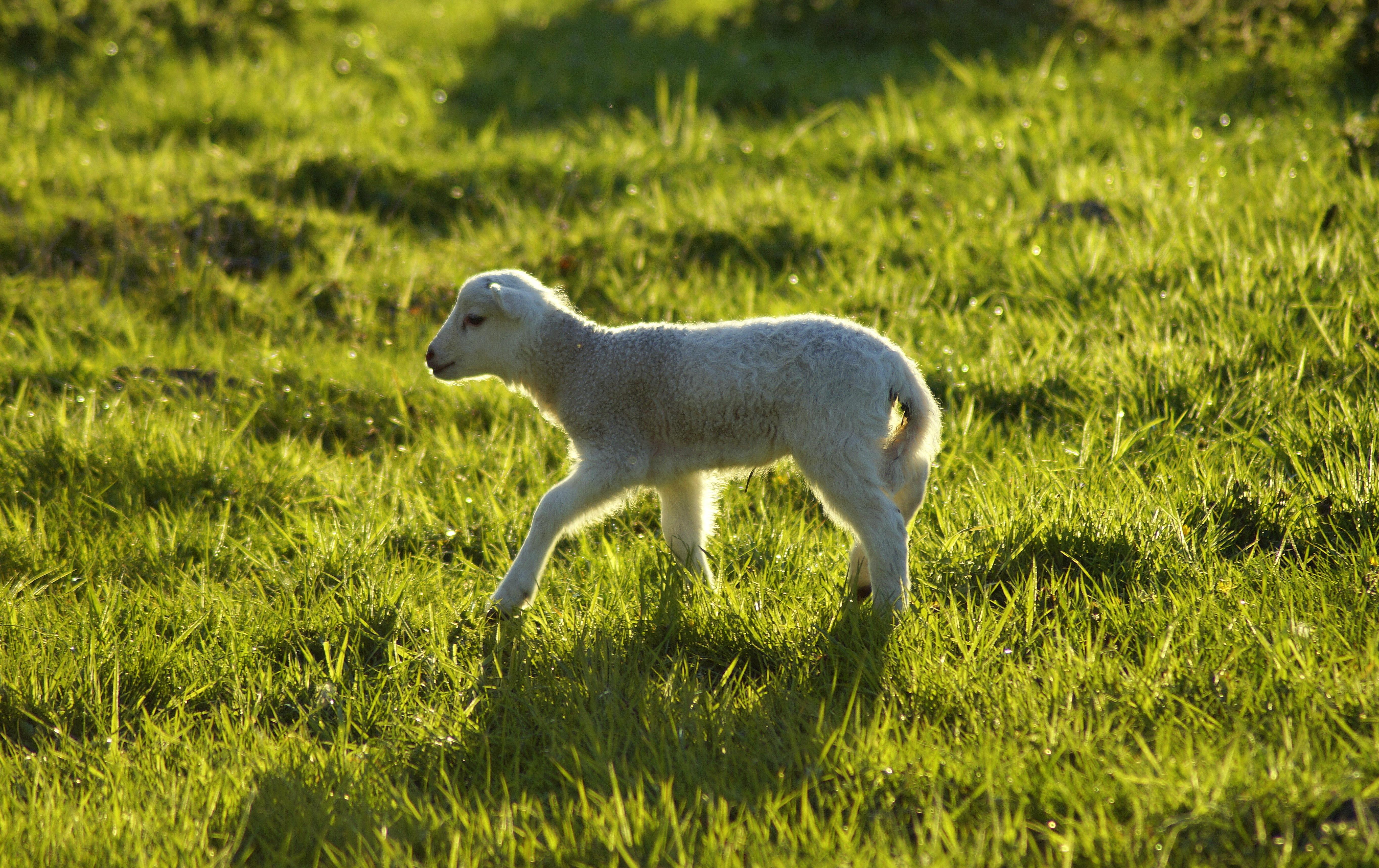 lamb-4232805